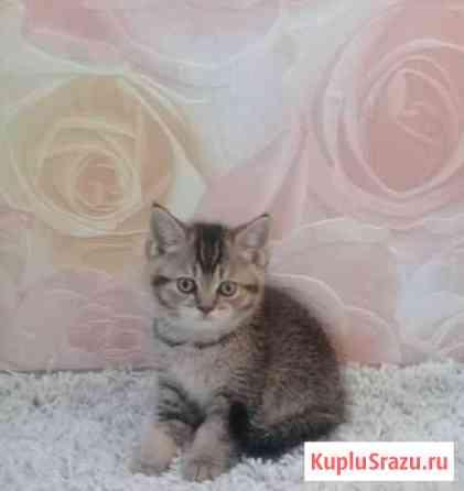 Британские котята Таловая