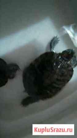 Черепаха Севастополь