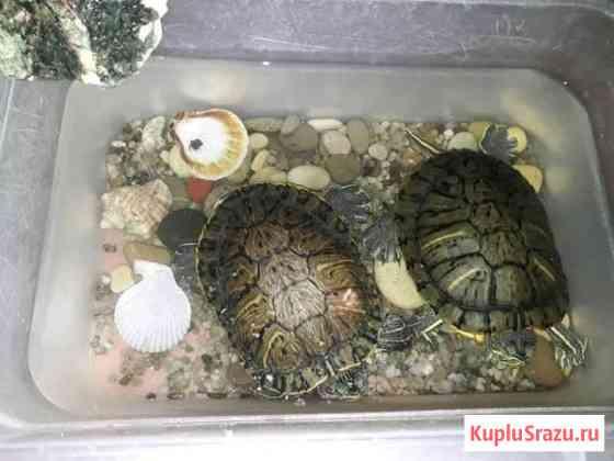 Черепаха Липецк