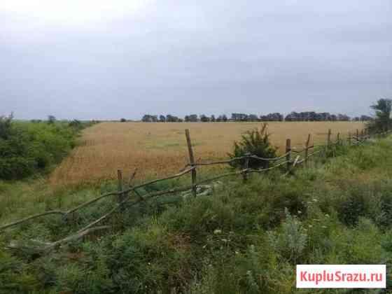 Пшеница Гудермес