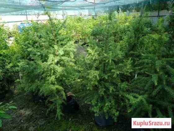 Деревья и кустарники для озеленения Советск