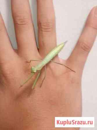 Богомол -Mantis reliogiosa Севастополь