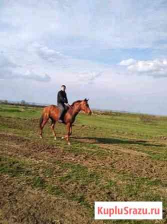 Лошадь Ачхой-Мартан