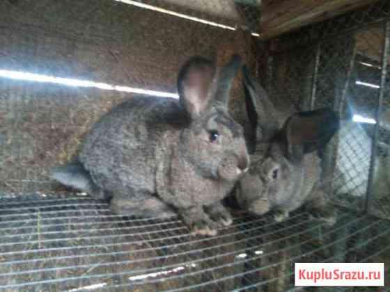 Мясные кролики Смоленск
