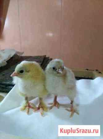 Цыплята Брама Димитровград