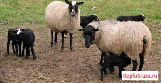 Продаю романовских овец, цена договорная Козловка