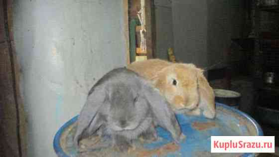 Крольчата фр. Баран Липецк
