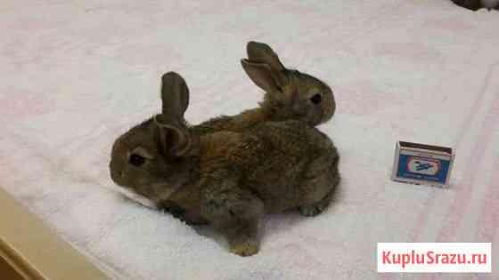Продам кроликов нзк+Ризен серый крупные Киров