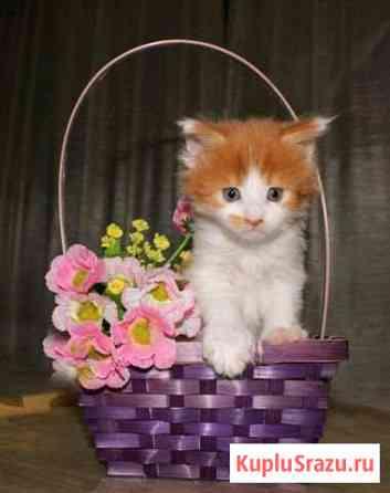 Кошечка Мейн-Кун Нижневартовск