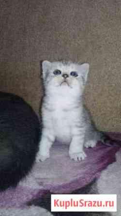 Продаются шотландские вислоухие котята Железнодорожный