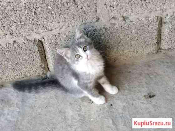 Кошки Шали