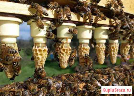 Пчеломатки Брянск