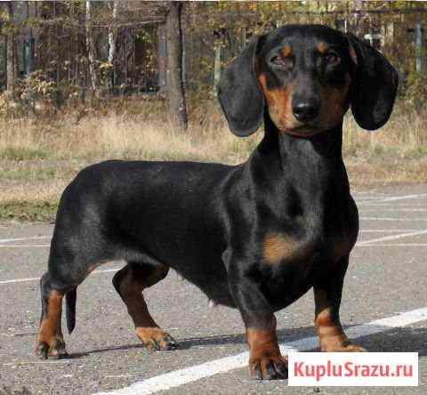 Продам щенка таксы Ульяновск