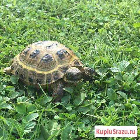 Черепаха сухопутная Белгород