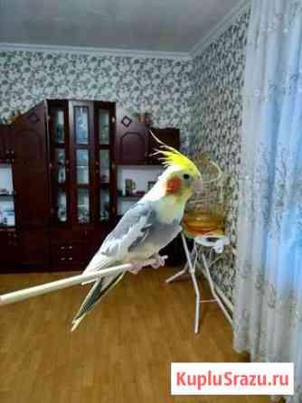 Попугай корелла Брянск