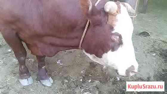 Продаю быка Элиста