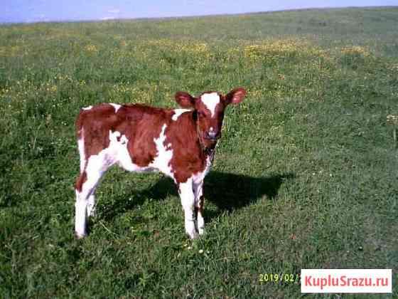 Айрширская корова Санкт-Петербург