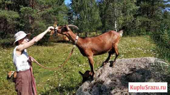 Коза молодая альпийская Санкт-Петербург
