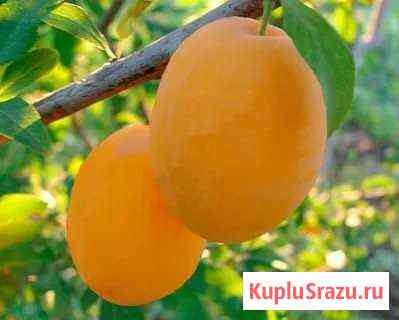 Слива жёлтая,вишня-саженцы Брянск