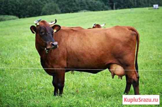 Корова Языково