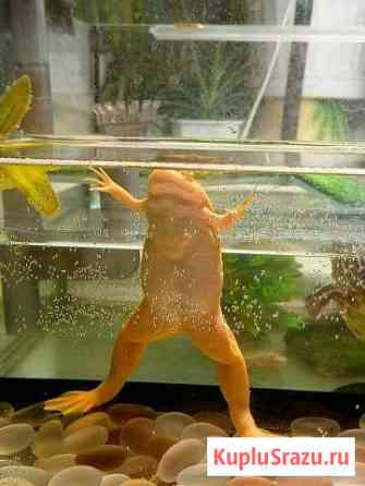 Шпорцевая лягушка Тула