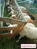 Ягнята бараны катумские, козлята