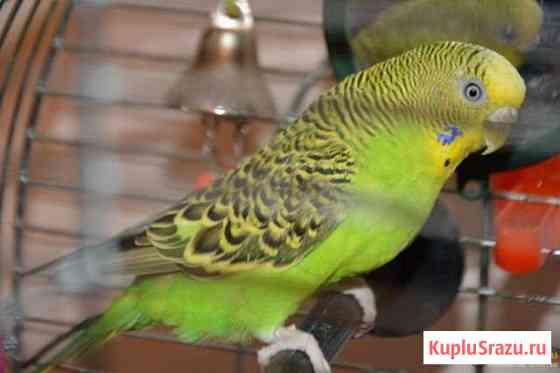 Молоденькие изумрудные попугайчики Видное