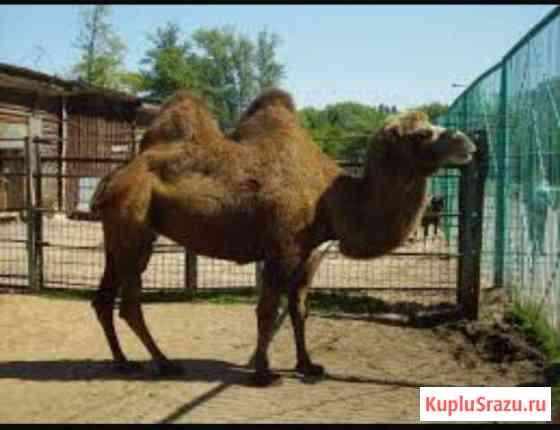 Верблюд Грозный