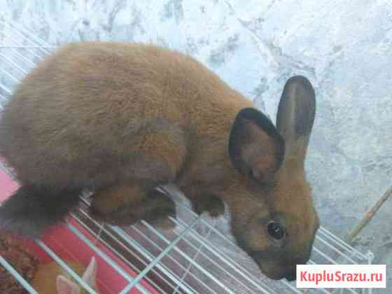 Кролики декоративные Краснодар