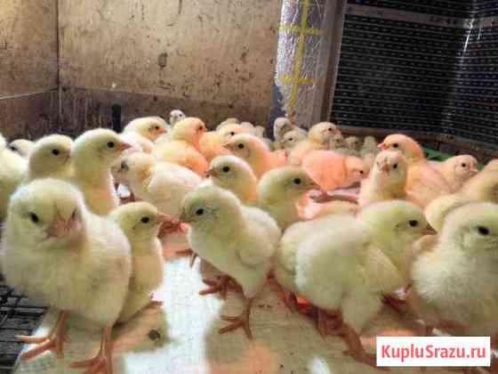 Цыплята кобб 500 Иваново