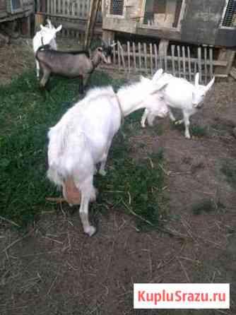 Коза Саранск