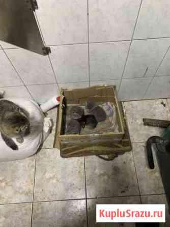 Котята вислоухие Правдинский