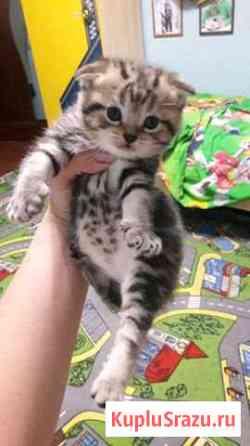 Шотландские вислоухие котята Верея