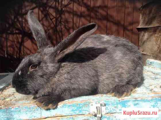 Кролики Серый великан Нижний Новгород