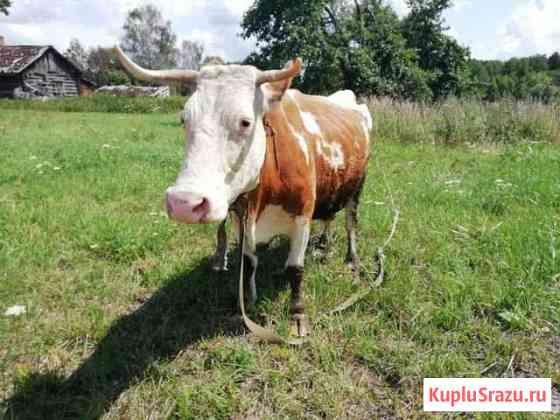 Корова Стародуб