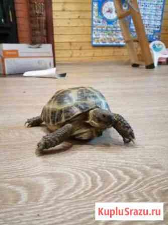 Черепаха Белгород