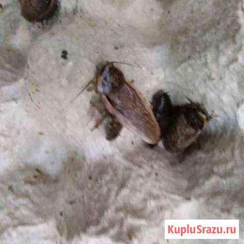 Мраморный таракан Челябинск