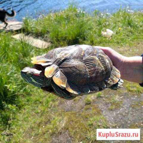 Красноухая черепаха Мурманск
