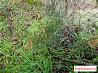 Саженцы сосны 1-2года (10 -30см),возможна высадка