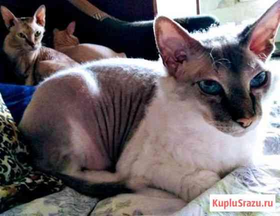 Коты лысый породы (сфинкс, девон-рекс) Конаково