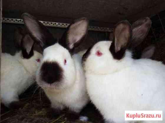 Калифорнийские кролики Севастополь