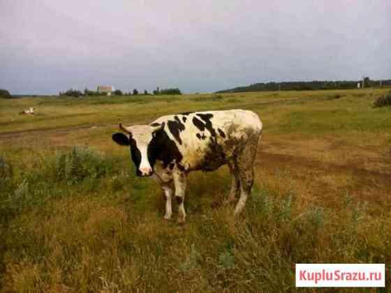 Корова Набережные Челны