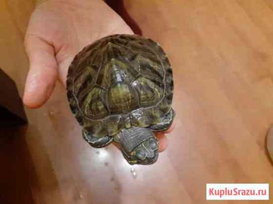 Отдам красноухих черепах Киров