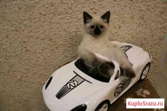Тайские котята Череповец
