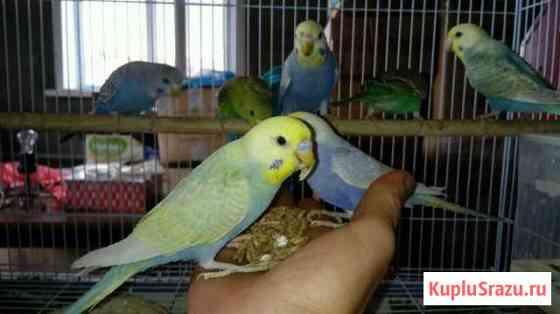Птенцы радужных волнистых попугаев Навля