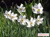 Нарцисс белый мелкокорончатый