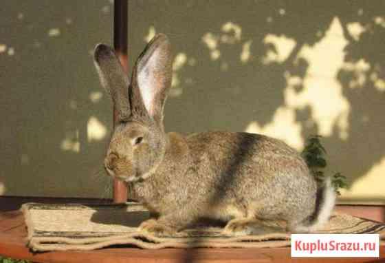 Продам кролика Липецк