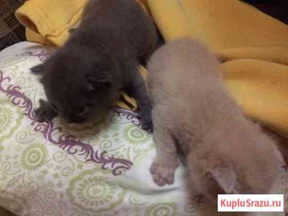 Кошки Адыге-Хабль