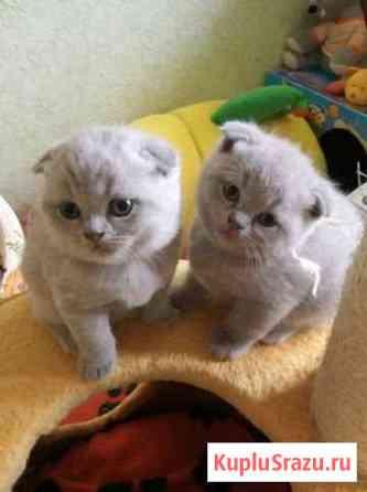 Котята порода шотландская Нижневартовск