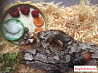 Тараканы Мадагаскарские